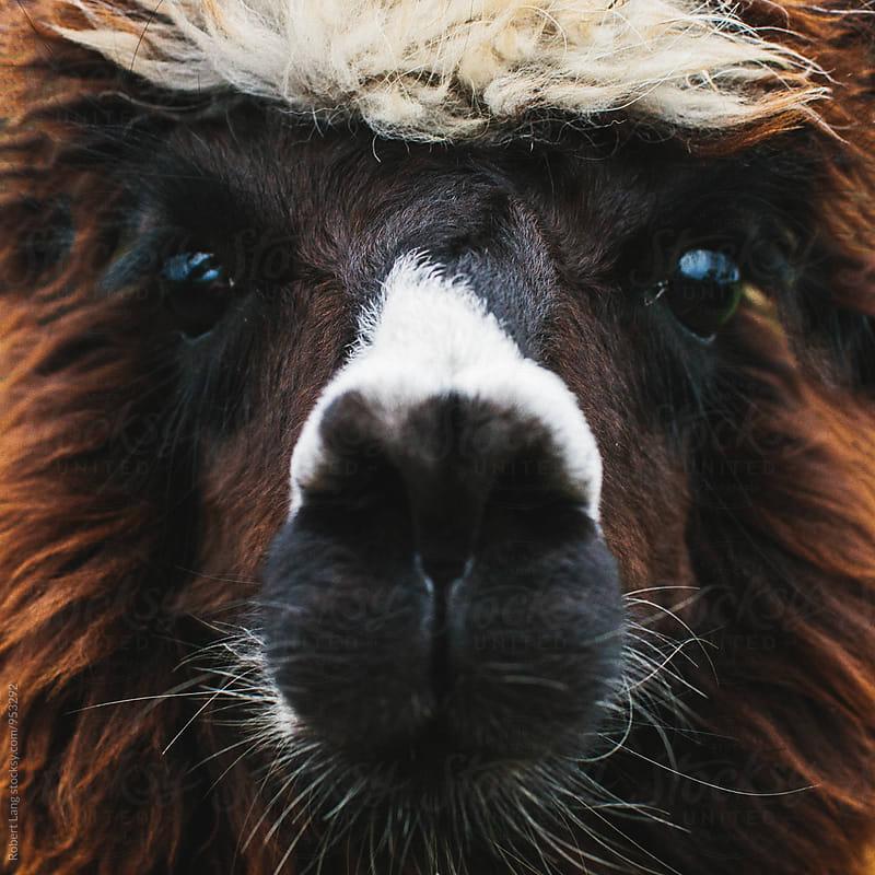Alpaca by Robert Lang for Stocksy United
