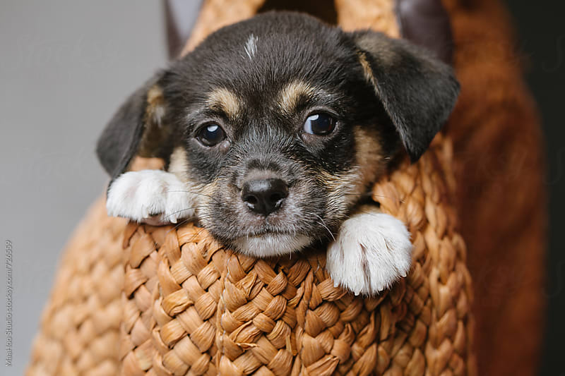 Cute black puppy lying in a bag by Maa Hoo for Stocksy United