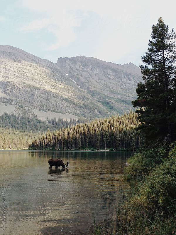 Bobbing Moose in Lake by Kevin Russ for Stocksy United