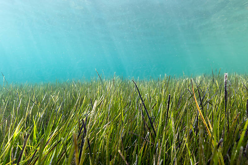 Sea grass meadow underwater by Jovana Milanko for Stocksy United