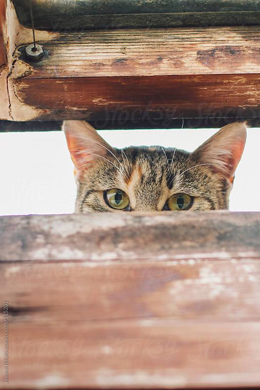 Cat peeking into room through the window by Jovana Rikalo for Stocksy United