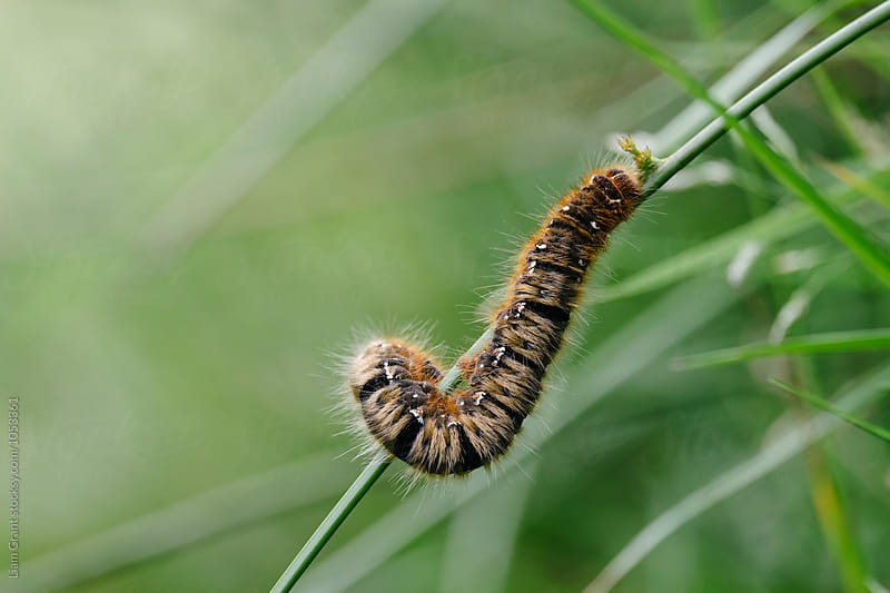 Oak Eggar Caterpillar (Lasiocampa quercus). Derbyshire, UK. by Liam Grant for Stocksy United