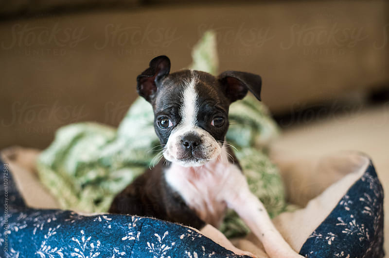 Bruce the Boston Terrier/Pug as a puppy by Shannon Aston for Stocksy United