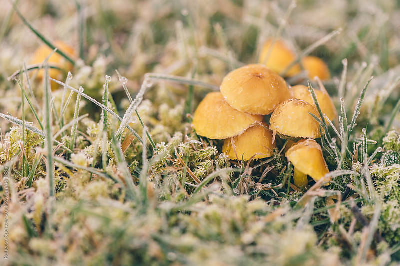 Small yellow mushrooms in frost covered grass by Rebecca Spencer for Stocksy United