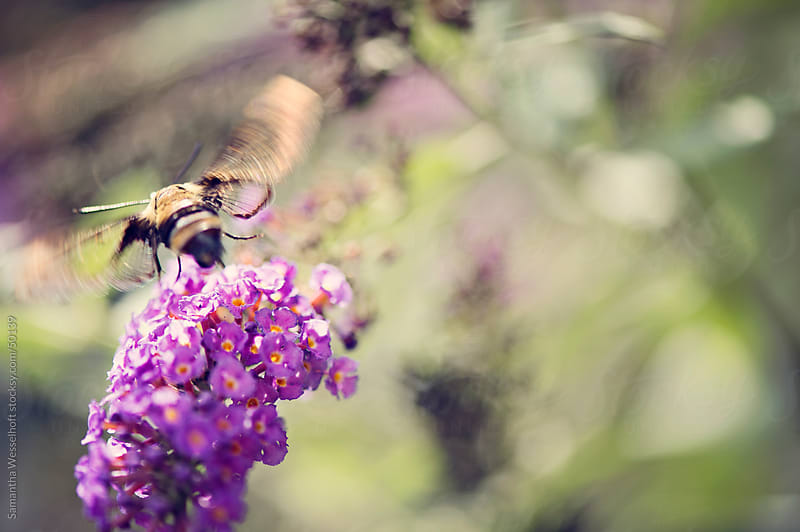 bee on flower by Samantha Wesselhoft for Stocksy United