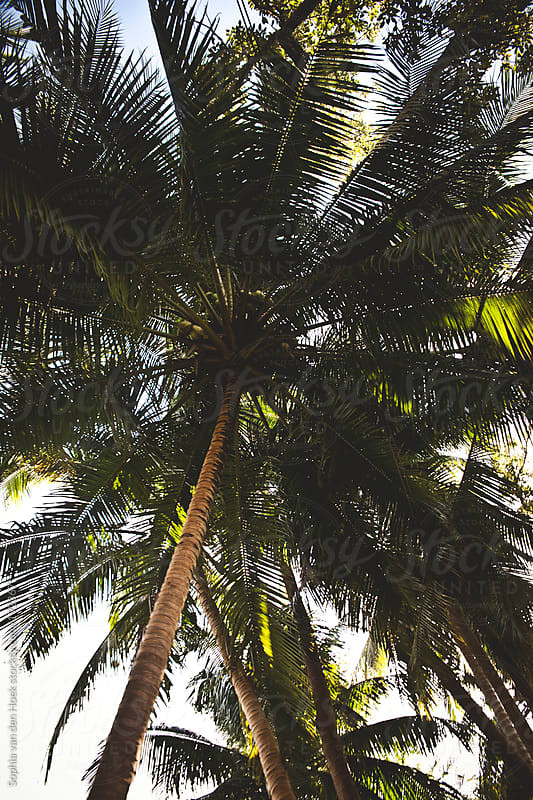 Palm tree by Sophia van den Hoek for Stocksy United