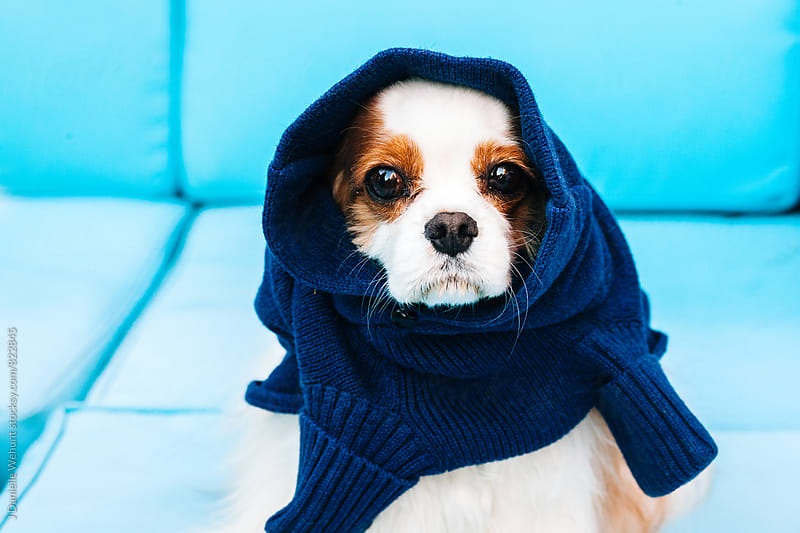 A Cavalier King Charles Spaniel sitting on sofa outside with a sweater around it's head. by J Danielle Wehunt for Stocksy United