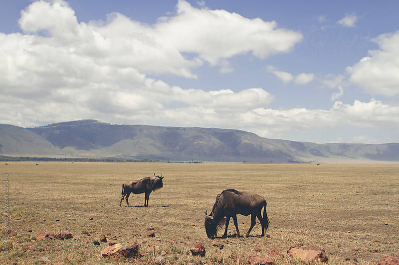 Wildebeest in Wild by Jesse Morrow for Stocksy United