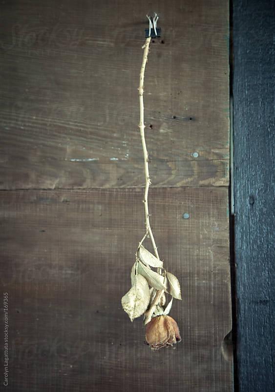 Dried rose hanging by a binder clip inside an old barn by Carolyn Lagattuta for Stocksy United