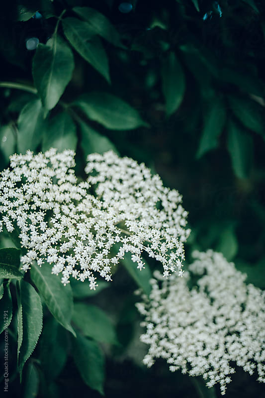 Elderflower by Hung Quach for Stocksy United