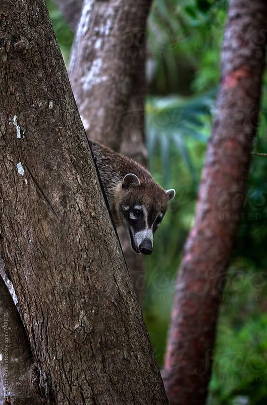 Coatimundi up in the Trees by Brandon Alms for Stocksy United