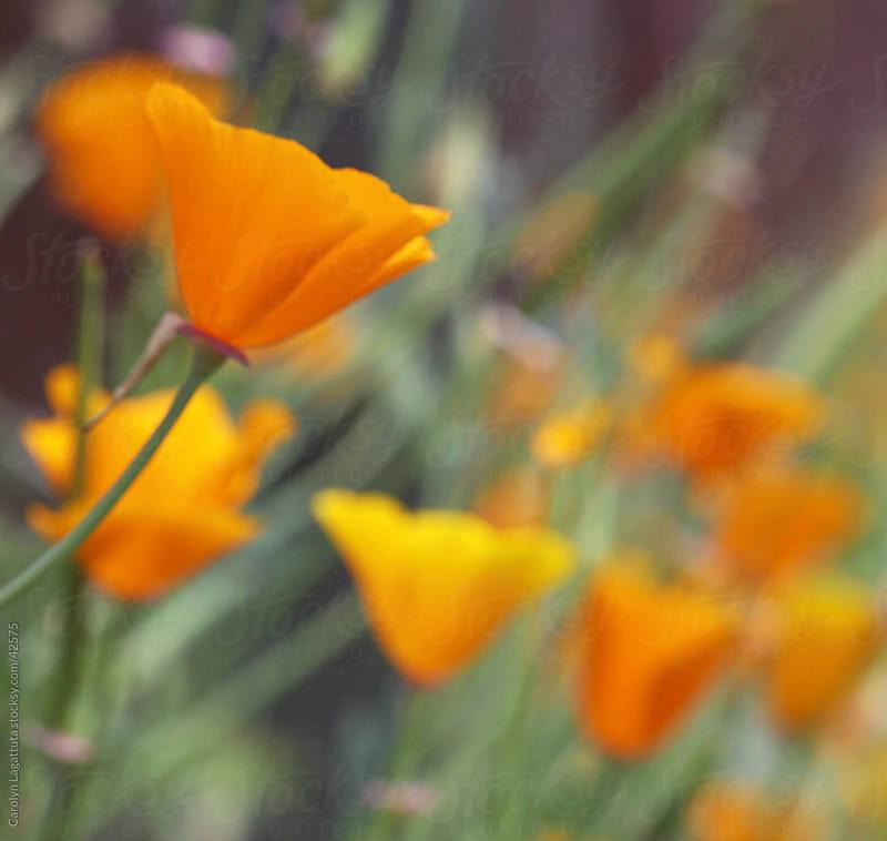A field with several orange California poppys. by Carolyn Lagattuta for Stocksy United