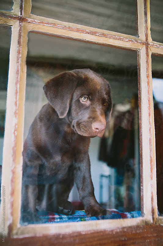 Cute labrador puppy looking out the window by Micky Wiswedel for Stocksy United