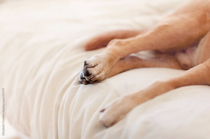 Legs of a Labrador retriever lying on the bed by Elisabeth Coelfen for Stocksy United