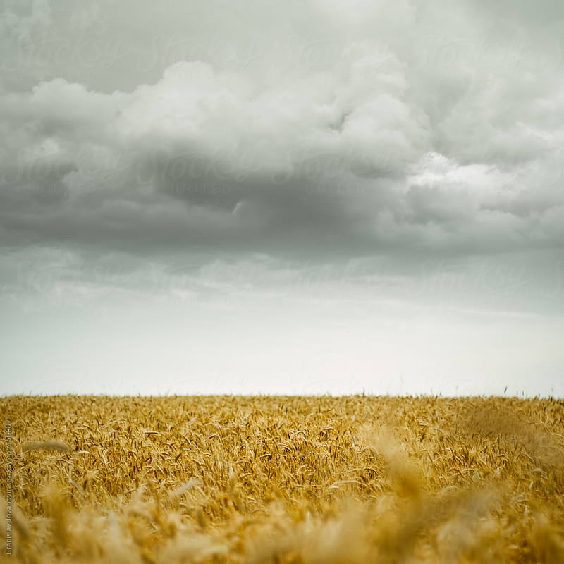 Golden wheat field and stormy sky by Branislav Jovanovic for Stocksy United