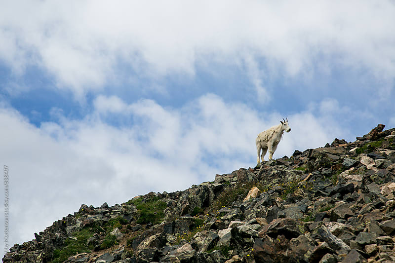 Mountain Goat on Ridge  by Abby Mortenson for Stocksy United