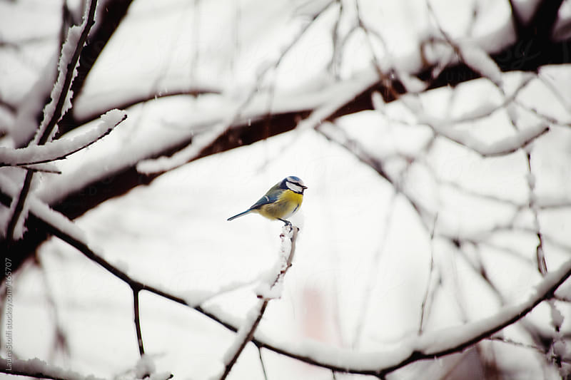Great tit standing on twig in covered in snow garden by Laura Stolfi for Stocksy United
