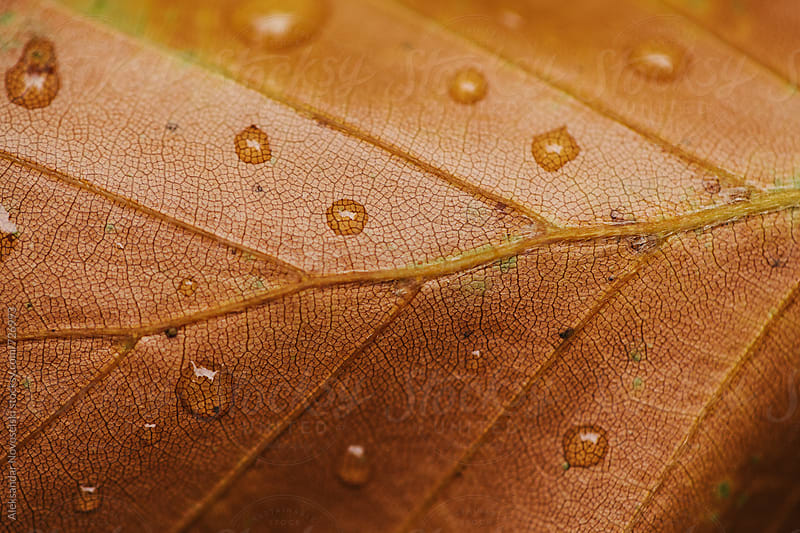 Detail shot of autumn leaf with raindrops on it by Aleksandar Novoselski for Stocksy United