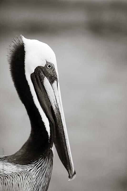 Pelican by Thomas Hawk for Stocksy United