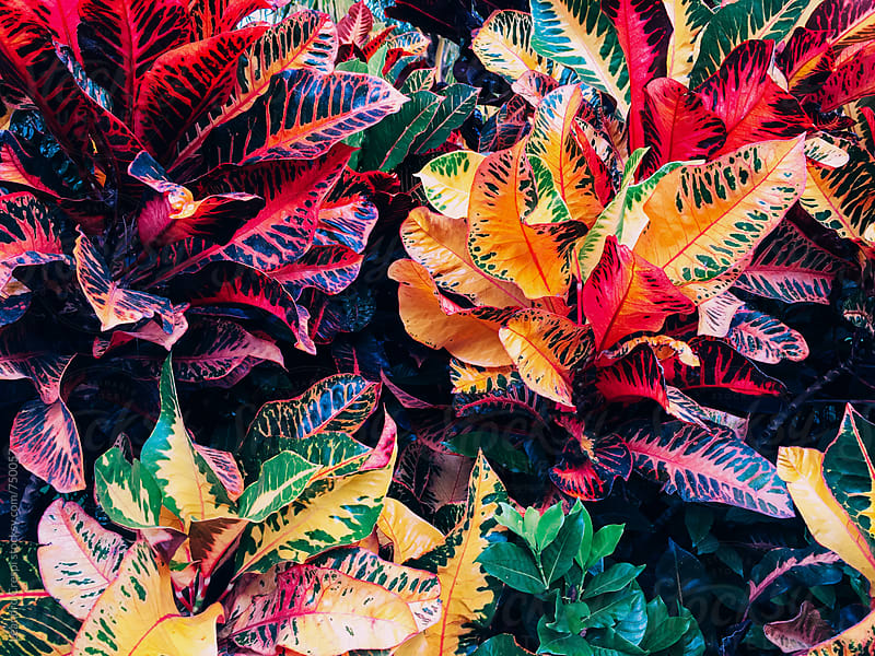 A colorful croton plant seen from above by Leandro Crespi for Stocksy United
