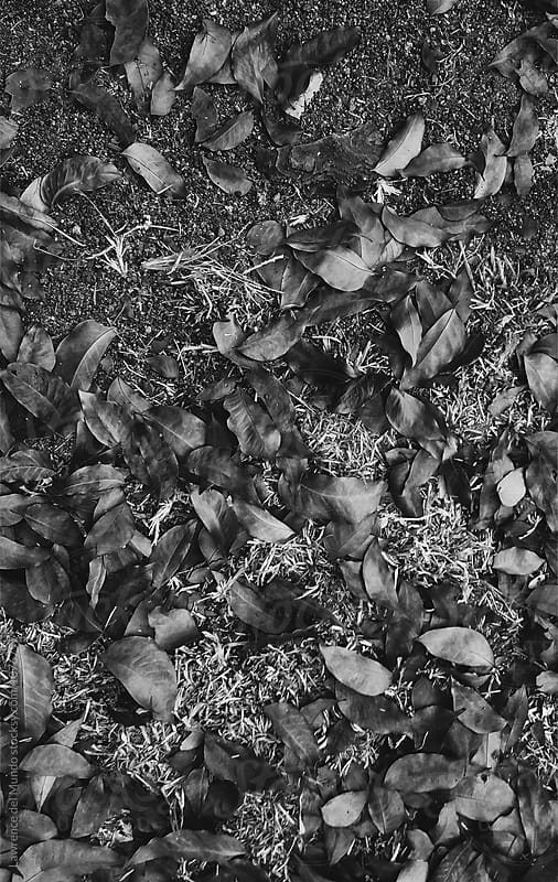Dry leaves on the field in black and white.  by Lawrence del Mundo for Stocksy United
