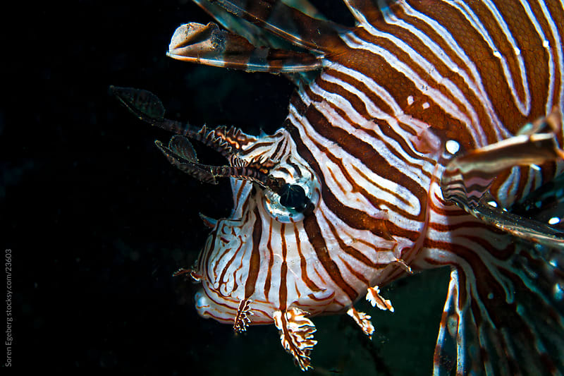 Lion fish swimming on the coral reef  underwater in Indonesia by Soren Egeberg for Stocksy United