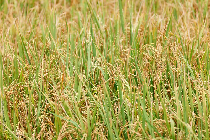 rice field by jira Saki for Stocksy United