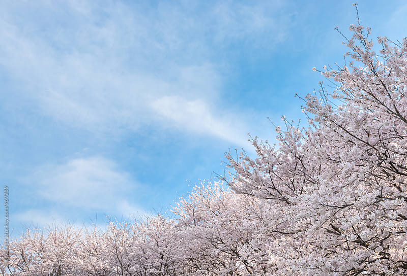 Sakura And Sky by Leslie Taylor for Stocksy United
