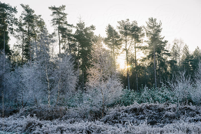 Sunrise over frost covered Birch trees and bracken. by Liam Grant for Stocksy United