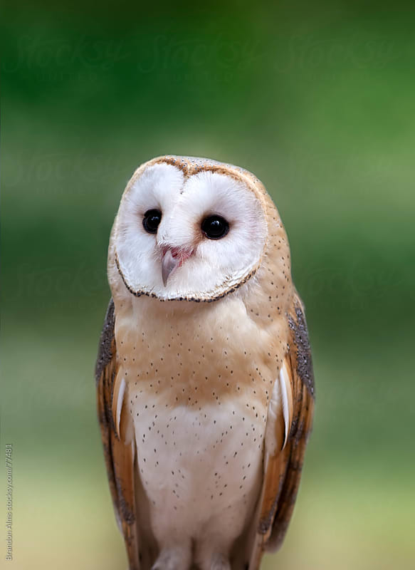 Barn Owl Closeup Portrait by Brandon Alms for Stocksy United