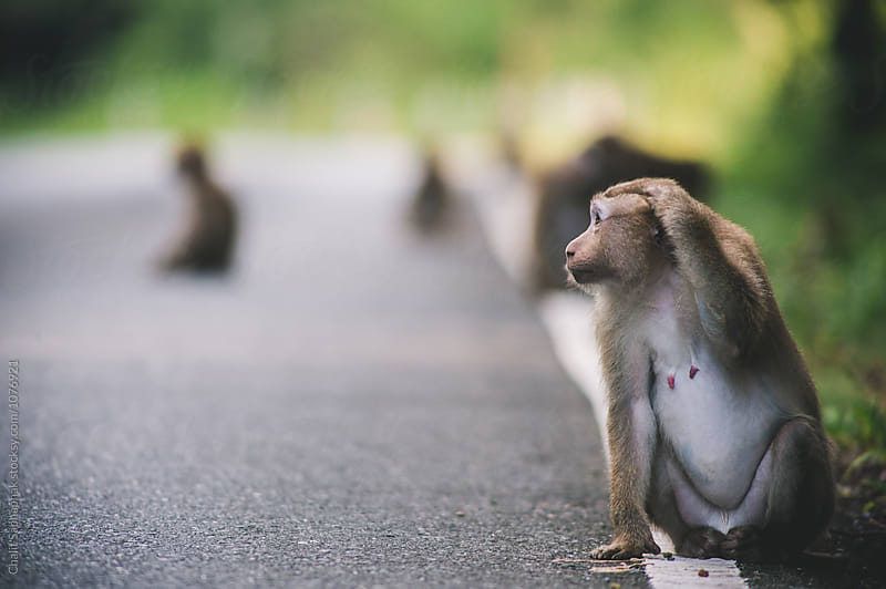 Monkey on the road by Chalit Saphaphak for Stocksy United