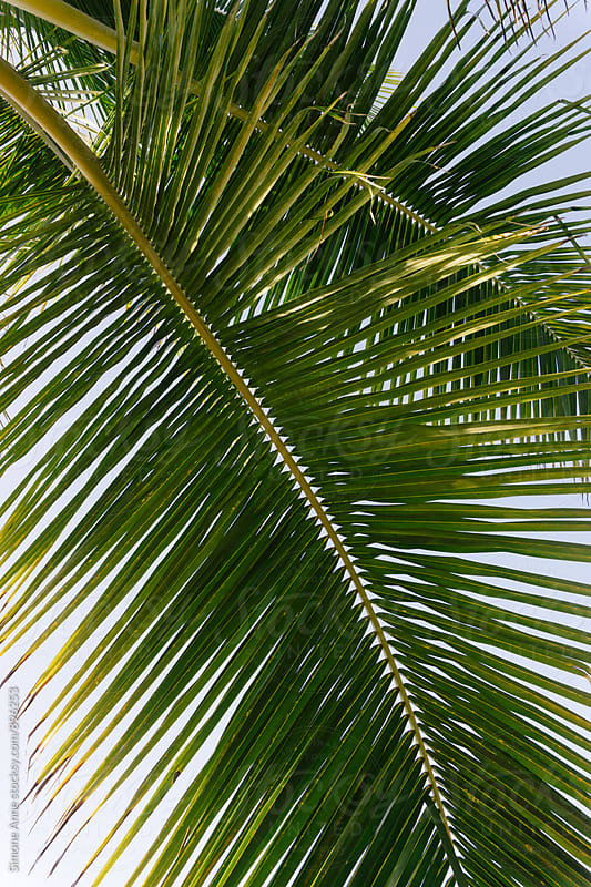 Palm front against blue sky by Simone Anne for Stocksy United