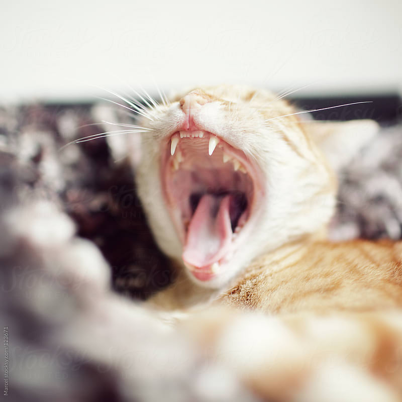 Yawning ginger tomcat by Marcel for Stocksy United