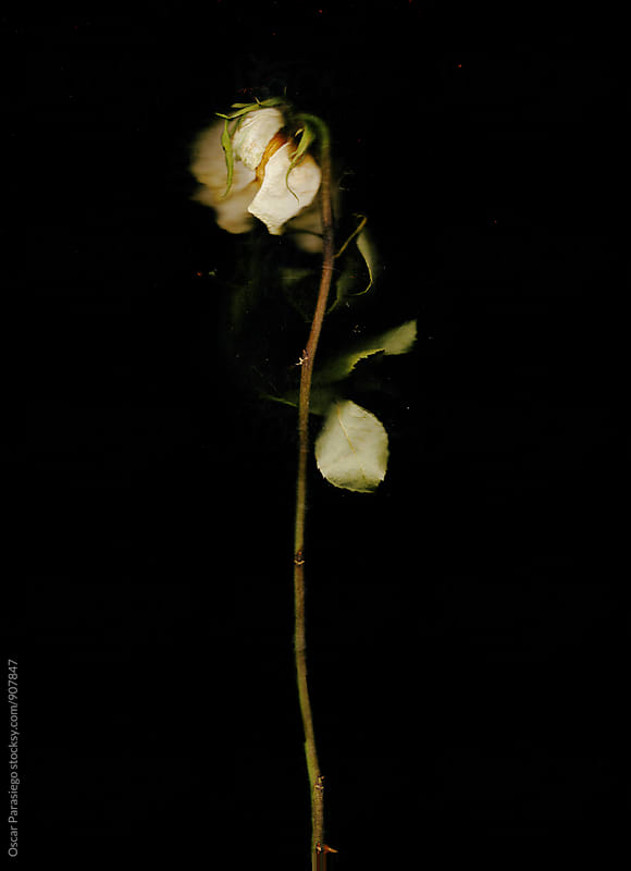 Decadent rose in a black background by Oscar Parasiego for Stocksy United