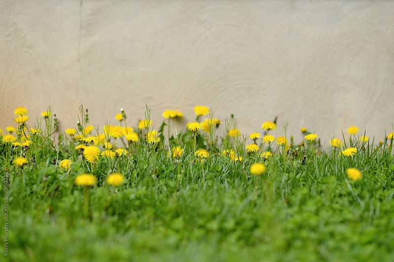Dandelion flowers against textured concrete wall by Kerry Murphy for Stocksy United