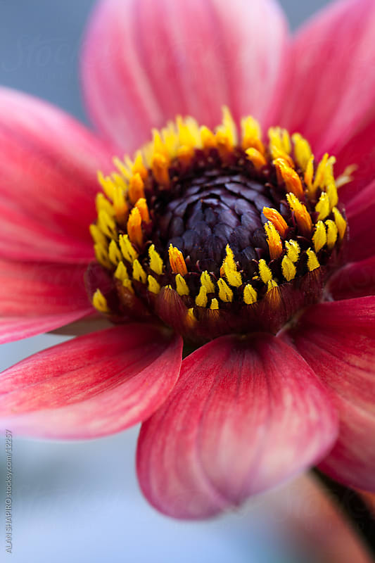 pink and yellow flower by ALAN SHAPIRO for Stocksy United