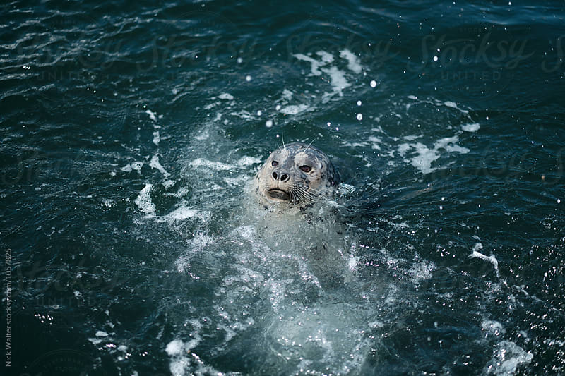 Sea Lion by Nick Walter for Stocksy United
