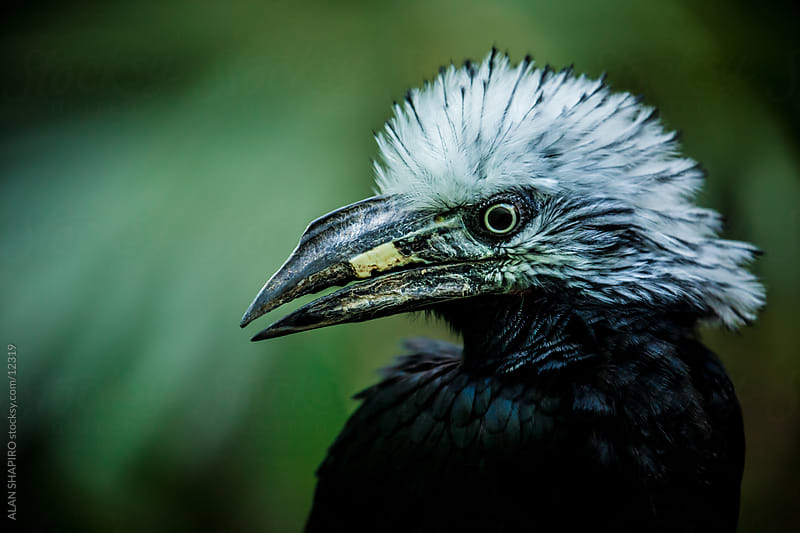 White crested hornbill by alan shapiro for Stocksy United