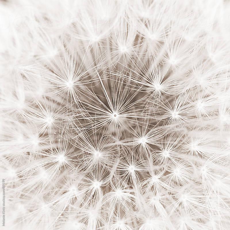 Dandelion close-up, sepia toned by Melanie Kintz for Stocksy United