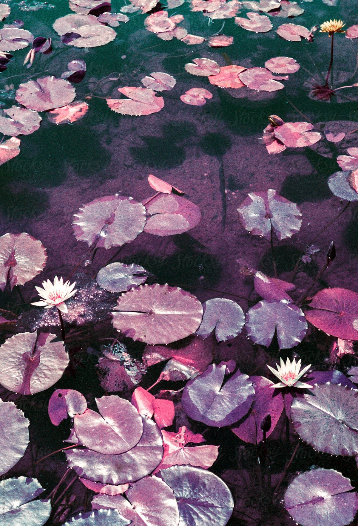 Purple Pond Filled With Purple Lily Pads Flowering Stocksy United