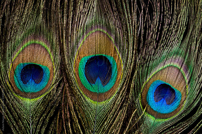 Three Peacock Feathers by Adam Nixon for Stocksy United