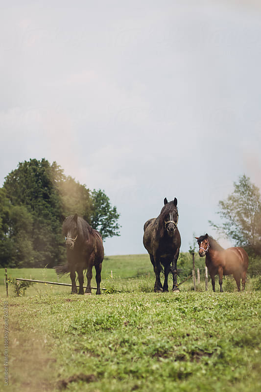 horses on a paddock by Leander Nardin for Stocksy United