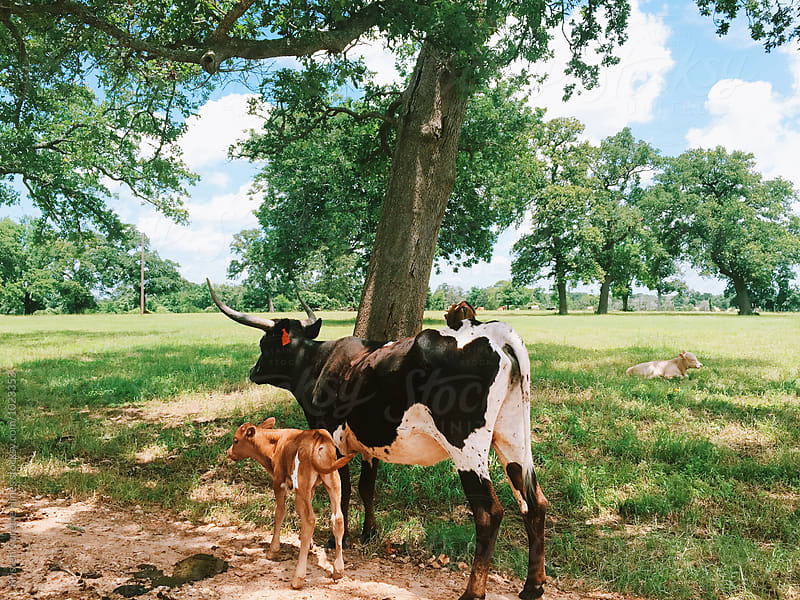 Mobile capture of a Texas longhorn steer / cow  by Kristen Curette Hines for Stocksy United