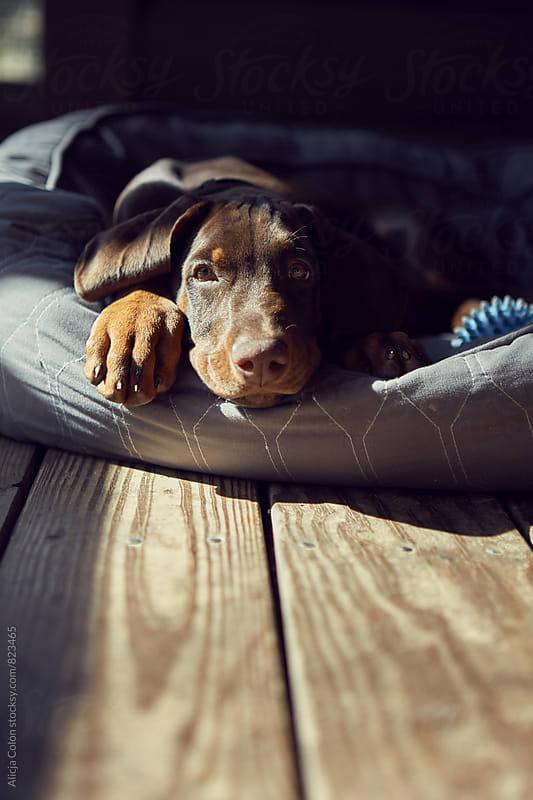 A sweet puppy sunbathing by Alicja Colon for Stocksy United