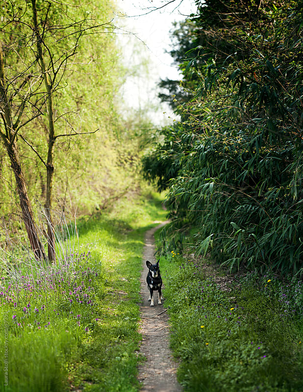 Little dog on countryside path looks straight at the camera by Laura Stolfi for Stocksy United