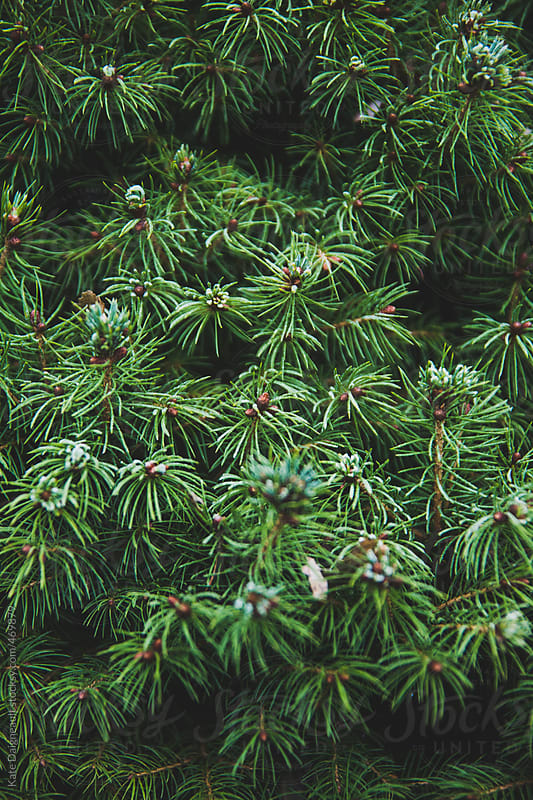 Frosty tips of a bright green pine tree.  by Kate Daigneault for Stocksy United