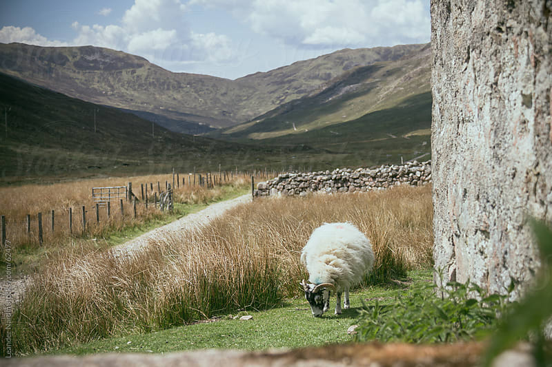 ram grazing in the scottish highlands by Leander Nardin for Stocksy United