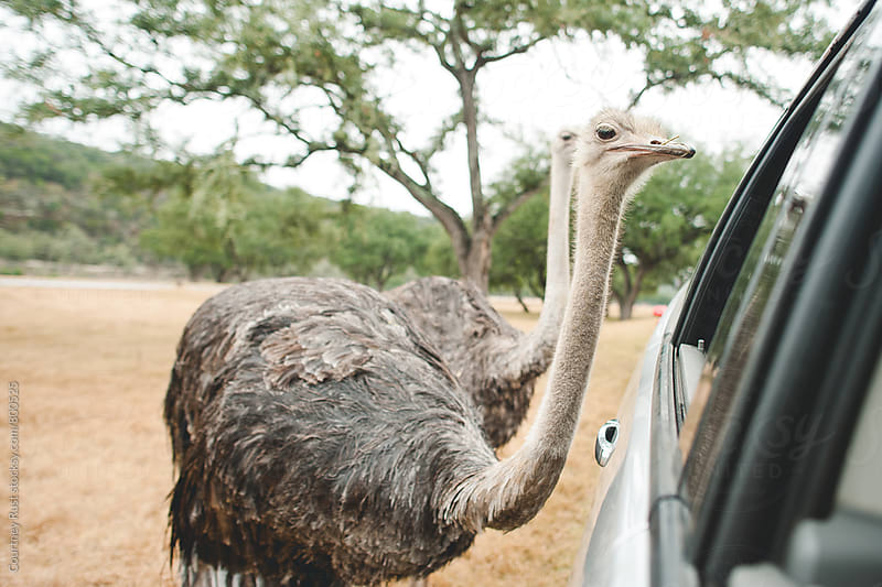 attracting ostriches by Courtney Rust for Stocksy United