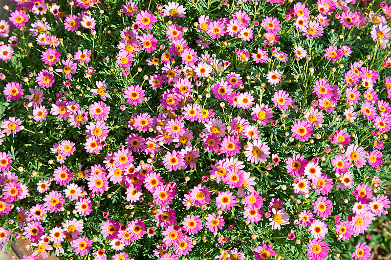 Pink daisies blossoming in garden with day light by Lawren Lu for Stocksy United