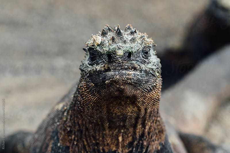 Galapagos Marine Iguanas by Richard Brown for Stocksy United